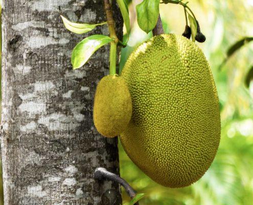 Who's jack, who's jack jackfruit, who's jack jackfrucht, jackfruit, jackfrucht, jackfruit bestellen, jackfrucht kaufen, jackfruit kaufen, bio-jackfruit, bio-jackfrucht, who's jack, fleischersatz, alternative zu fleisch, jackfruit frikassee, jackfruit geschnetzeltes, jackfruit geschmack, jackfruit burger, jackfruit pulled pork, jackfruit bbq, jackfruit pulled pork bestellen, chefkoch jackfruit, jackfruit gulasch, jackfruit bolognese, jackfruit fleischersatz, jackfruit stinkfrucht, jackfruit deutsch, jackfruit curry, jackfruit curry rezept, jackfruit kalorien, jackfruit tree, jackfruit durian, jackfruit kaufen, jackfruit rezepte, jackfruit rezept, jackfruit brigitte, jackfruit baum kaufen, jackfruit bao, jackfruit dose, jackfruit grillen, jackfruit herkunft, jackfruit salat, jackfruit döner, jackfruit kohlenhydrate, jackfruit durian unterschied, jackfruit nährwerte, jackfruit dm, jackfruit edeka, jackfruit kaufen edeka, jackfruit rossmann, upton naturals jackfruit, jackfruit is durian, upton jackfruit germany, upton jackfruit, alnatura jackfruit, jacky f jackfruit, lotao jackfruit, govinda jackfruit, jackfruit kern, jackfruit kaufen köln, jackfruit stinkt, jackie jackfruit, jackfruit bei rewe, jackfruit geruch, jackfruit fleischersatz de, jackfruit gerichte, jackfruit fleischersatz rezepte, jackfruit vs durian, grüne jackfruit