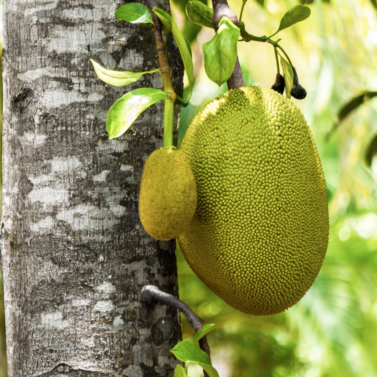 Jackfrucht bestellen, Jackfrucht kaufen, Jackfrucht, Jackfruit, Bio-Jackfruit, Bio-Jackfrucht, Who's Jack, Fleischersatz, Alternative zu Fleisch, Who's Jack, Jackfruit_Dinner